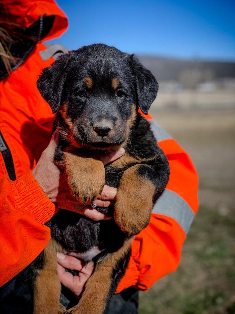 stringcheese male puppy